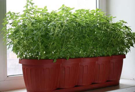 Огород на подоконнике свежая зелень